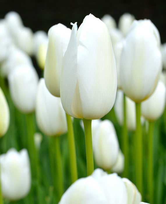 Wholesale Tulip Catherina