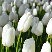 Tulip Clearwater - White tulip bulbs