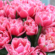 Tulip Columbus - Great Cut Flower - Flower Bulbs from Holland