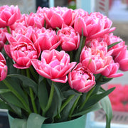 Tulip Columbus - Great as Cut Flower in Bouquet or Vase