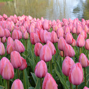Tulip Design Impression Bulbs