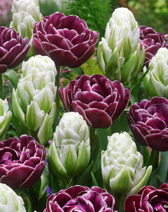 Tulip Harbor Light and Dream Touch - Double Glamour Collection