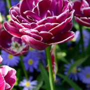 Wholesale Dream Touch Tulip Bulbs