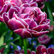 Wholesale Tulip Bulbs - Dream Touch