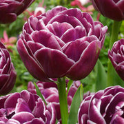 Dream Touch tulips