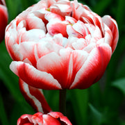 Wholesale Drumline Tulip Bulbs