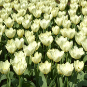 Wholesale white tulip flower bulbs