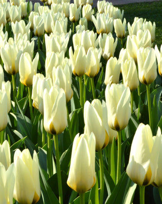 Wholesale single early white tulip bulbs