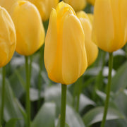 Tulip Early Yellow Emperor Landscaper Special