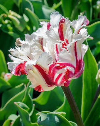 Tulip Parrot Red and White Estella Rijnveld