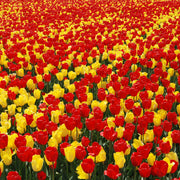 Tulip Fire Parade Collection Red and Yellow Jumbo Darwin Tulips