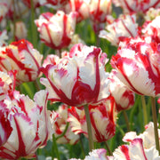 Tulip Bulbs - Flaming Parrot