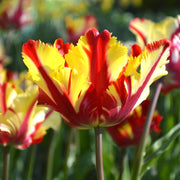 Wholesale Tulip Bulbs - Flaming Parrot