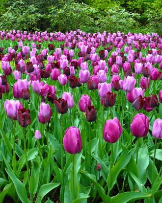Black and purple tulip bulbs