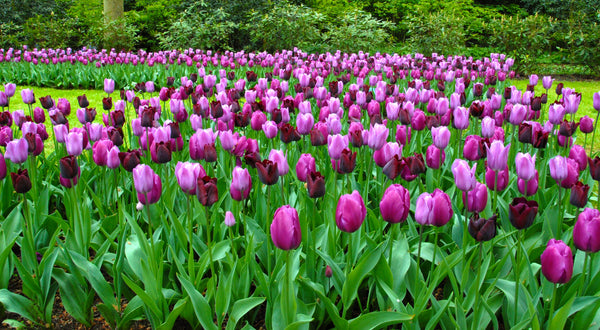 Tulip Garden State Collection Black And Purple Tulips