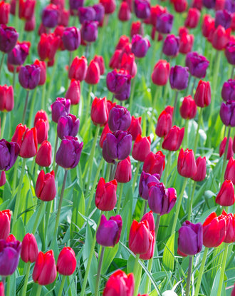 Purple and red tulip bulbs