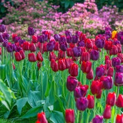 Triumph Tulip Bulb Mix - Red and purple