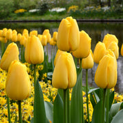 Golden Parade Tulip Bulbs