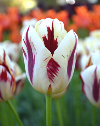 Tulip Grand Perfection