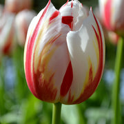 Wholesale Tulip Happy Generation