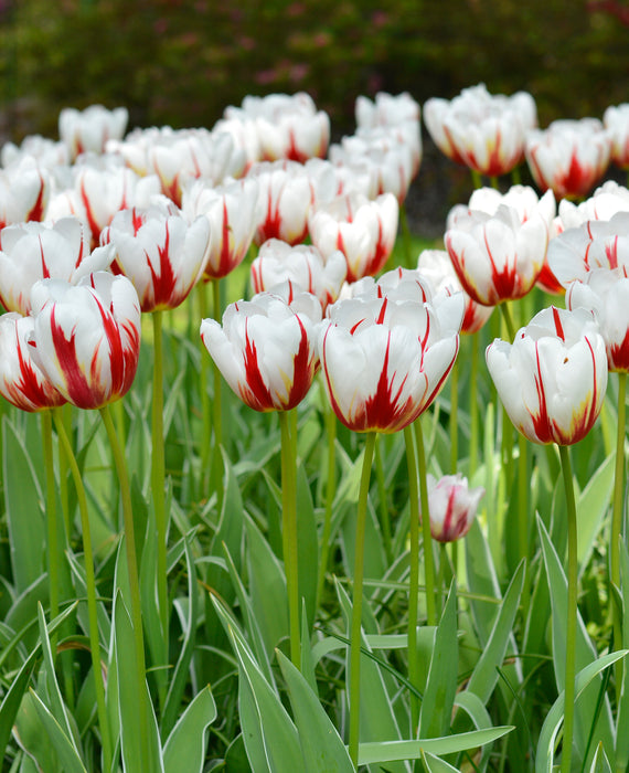 Wholesale Happy Generation Tulip Bulbs