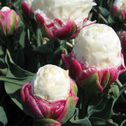 Tulip Ice Cream Bulbs