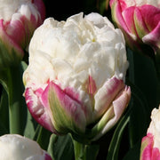Tulip Ice Cream Flower Bulbs