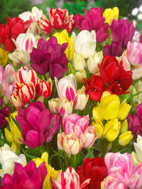Multi-flowering tulip collection
