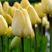 Wholesale Tulip Bulbs - ivory floradale