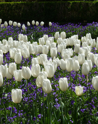 Jumbo Darwin Tulip Bulbs - White