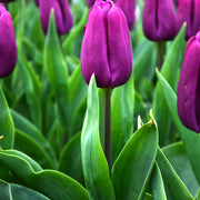 Wholesale jumbo tulip bulbs (Purple)