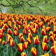 Tulip Flower Bulbs - Dow Jones