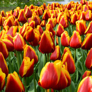 Wholesale Tulip Dow Jones Bulbs