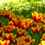 Tulip Dow Jones Red Yellow Triumph Flowers