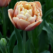 Tulip Bulbs - La Belle Epoque - For Sale