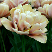 Tulip Bulbs Wholesale La Belle Epoque - Online Sale