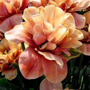 La Belle Epoque Tulip Bulbs | For Sale