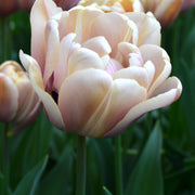 Wholesale Tulip Bulbs - La Belle Epoque - Buy Online