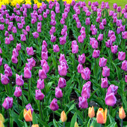 Tulip Bulbs - Magic Lavender