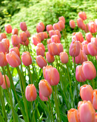 Wholesale Menton Tulip Bulbs