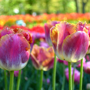 Wholesale Tulip Bulbs - Miami Sunset