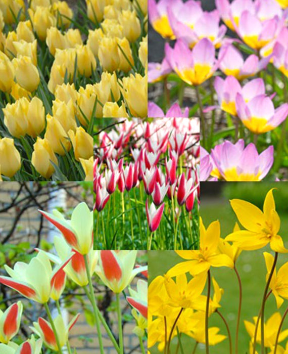 Naturalizing tulip bulb collection