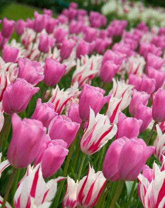 Triumph tulip bulb collection - pink