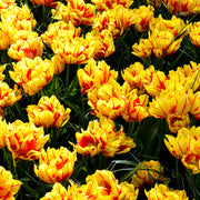 Wholesale Monsella Tulip