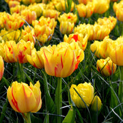 Wholesale tulip monsella