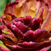Tulip Nachtwacht (Night Watch) - Dark Brown Maroon Double Tulips - Flower Bulbs from Holland