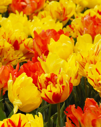 Double Tulip bulbs - orange + yellow