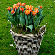 Tulip Bulbs - Orange Princess