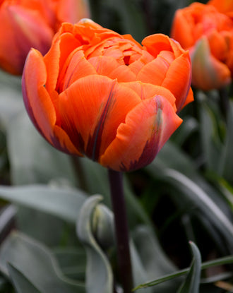 Wholesale Tulip Bulbs - Orange Princess