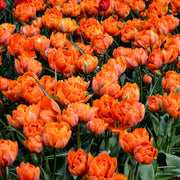 Tulip Flower Bulbs - Orange Princess